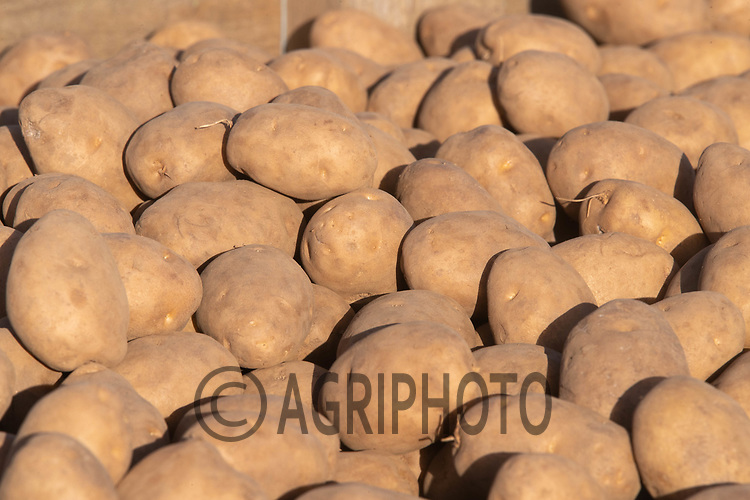 21-4-2021 Seed potatoes <br /> ©Tim Scrivener Photographer 07850 303986<br />      ....Covering Agriculture In The UK....