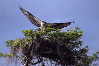 An Osprey returns to its nest at Blue Cypress Lake west of Vero Beach in Florid