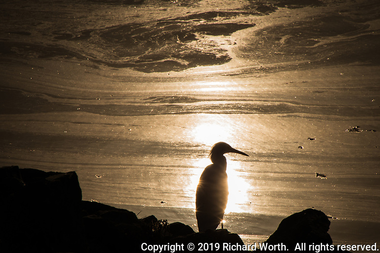 A Snowy egret stands in silhouette, lit by the sun reflecting in oil tainted waters along the rocky shore at San Leandro Marina on San Francisco Bay.