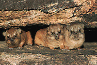 Cape Hyrax Rock Hyrax (Procavia capensis), young in rock crack, Namibia, Africa