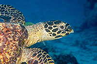 hawksbill sea turtle, Eretmochelys imbricata, Yap, Micronesia, Pacific Ocean