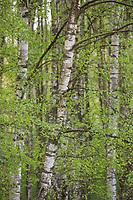 Birkenwald, Birken-Wald, Hänge-Birke, Birke, Sand-Birke, Hängebirke, Sandbirke, Weißbirke, Betula pendula, European White Birch, Silver Birch, warty birch, birch, birch forest, birch grove, Le bouleau verruqueux, bouleau blanc