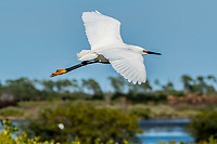 An snowy egret flies above the marshes at Merritt Island, FL, March 2020.(Photo by Brian Cleary/bcpix.com)