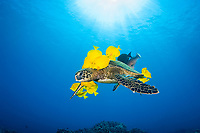 green sea turtle, Chelonia mydas, being cleaned of algae by yellow tangs, Zebrasoma flavescens, endangered species, Puako, Big Island, Hawaii, USA, Pacific Ocean