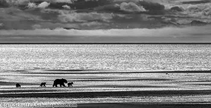 Brown Bear sow and three cubs walk on shoreline of Cook Inlet at low tide in search of clams in Lake Clark National Park.  Silver Salmon Creek area. Western Alaska  Summer<br /> <br /> Photo by Jeff Schultz/  (C) 2020  ALL RIGHTS RESERVED
