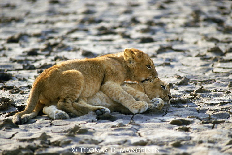 A pair of lion cubs play fight.