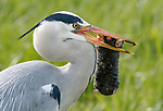 Heron makes a mountain out of a mole hill while eating a mole by Jens Stahl
