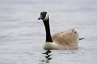 Adult Canada Goose (Branta canadensis). Tompkins County, New York. February.