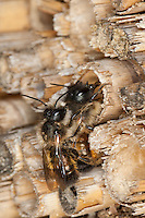 Rote Mauerbiene, Mauer-Biene, am Loch in einer Wildbienen - Nisthilfe, Insektenhotel, Kopulation, Kopula, Paarung, Osmia rufa, Osmia bicornis, red mason bee, copulation, Mauerbienen