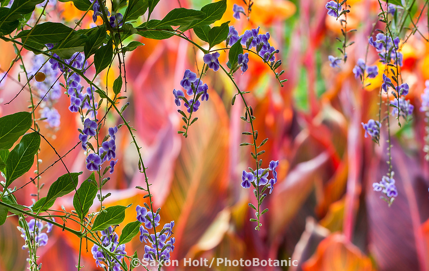 Duranta erecta 'Sapphire Showers' (Picotee Sky Flower) (aka D. repens) Golden Dewdrop or Pigeon berry, Blue flowering vine; Los Angeles County Arboretum and Botanic Garden