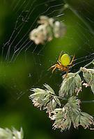 Kürbisspinne, Kürbis-Spinne, Araniella cucurbitina oder Araniella opistographa, gourd spider, pumpkin spider
