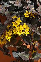 Lysimachia congestiflora Midnight Sun in flower with gold yellow blooms and dark purple black foliage leaves