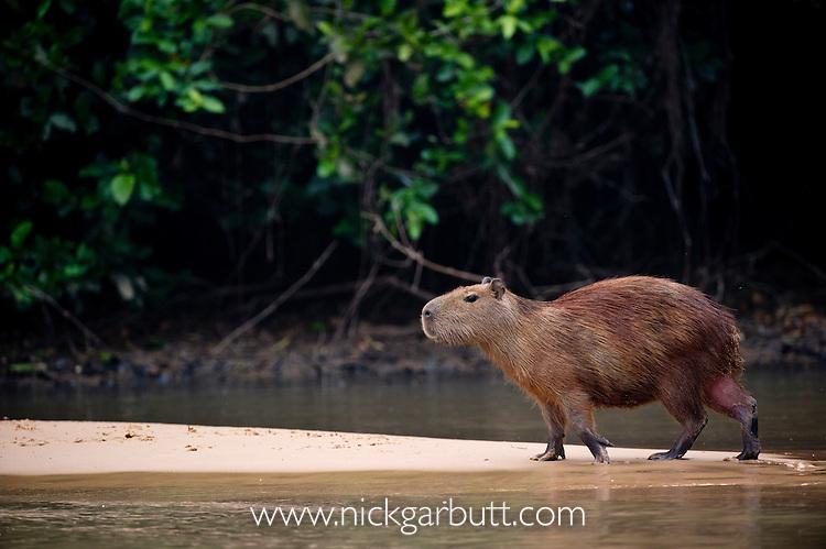 Capybara (Hydrochaeris hydrochaeris) along the Pixiam River, Northern Pantanal, Brazil (World's largest rodent).