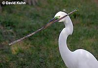 0312-0877  Great Egret Collecting Sticks for Nest, Displaying Breeding Plumage, Ardea alba © David Kuhn/Dwight Kuhn Photography