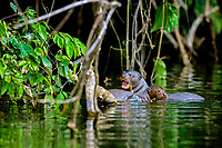 giant otter, or giant river otter, Pteronura brasiliensis, adult with two pups, Madre de Dios River, Manu National Park, Peru