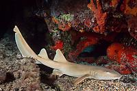 nurse shark, Ginglymostoma cirratum, resting in shipwreck at night, Bahamas, Atlantic Ocean