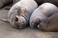 Northern Elephant Seal pups (Mirounga angustirostris) at Piedras Blancas, San Simeon, California