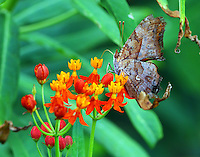 Eastern comma on butterfly weed, note the namesake comma on the hind wing