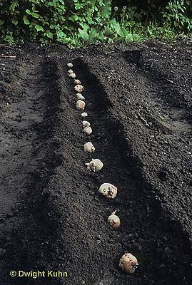 HS05-013b  Potato - planting potatoes