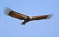 California condor (Gymnogyps californianus), soaring flight against blue sky