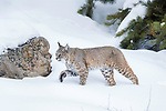 North American Bobcat (Lynx rufus) stalking through deep snow. Madison River Valley, Yellowstone National Park, Wyoming, USA. January