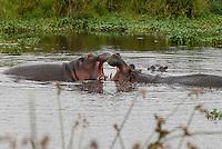 TANZANIA Nationalpark Ngorongoro Crater near Arusha , fighting hippo / TANSANIA Nationalpark Ngorongoro Crater bei Arusha , kaempfende Nilpferde