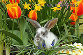 Kim, EASTER, OSTERN, PASCUA, photos,+Young rabbit among Spring flowers.,++++,GBJBWP41625,#e#