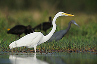 Great Egret ( Ardea alba),adult among other waders, Fennessey Ranch, Refugio, Coastal Bend,Texas Coast, USA