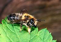 Schwarzbürstige Blattschneiderbiene, Schwarzbäuchige Blattschneiderbiene, Männchen, Megachile nigriventris, Blattschneiderbienen, Megachilidae