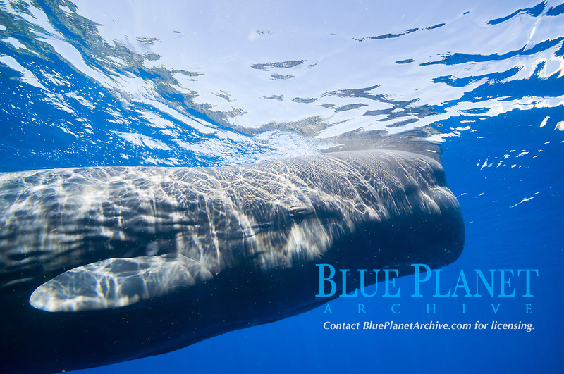 sperm whale, Physeter macrocephalus, Dominica, Caribbean Sea, Atlantic Ocean