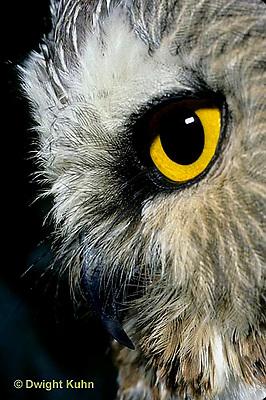 OW02-177z   Saw-whet owl - close-up of face showing curved beak and eye - Aegolius acadicus