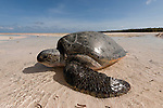 Green turtle (Chelonia mydas) mother struggles to make her way back to sea after laying her eggs on the beach. The strong morning sun is upon her. Low tide falls very low and wide in Moromaho Island