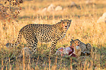 Cheetah (Acinonyx jubatus) three year old male brothers feeding on male Puku (Kobus vardonii) kill, Kafue National Park, Zambia