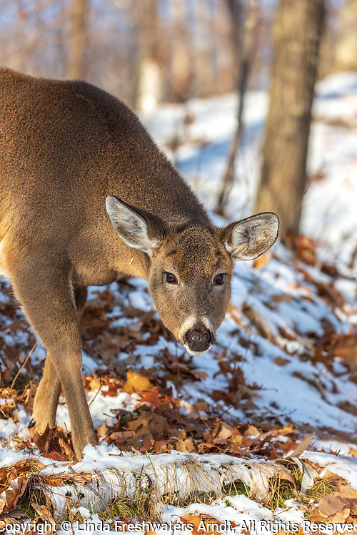 Busted by a white-tailed doe in a northern Wisconsin forest.