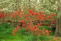 Azaleas, fuscia, and dogwood riot into bloom on site of old homestead near  split rail fence in spring, South Carolina, USA