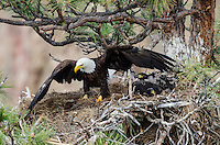 Bald Eagle Nest (Haliaeetus leucocephalus)--adult with two 5 to 6 week old eaglets in tall ponderosa pine tree.  Oregon.  May.  Adult has just brought new nesting material into nest--pile of grass/pine needles at her feet.