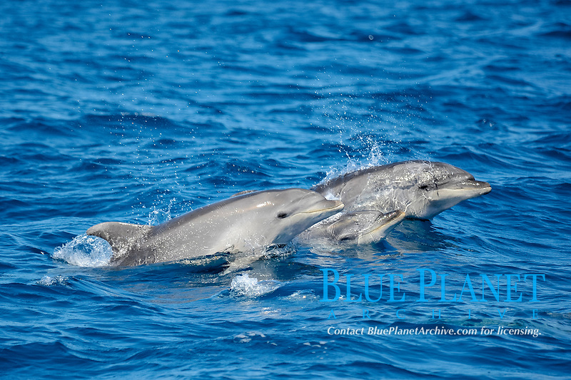 Three Common Bottlenose Dolphins, Tursiops truncatus, surface simultaneously, west of Faial Island, Azores, Atlantic Ocean