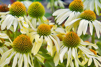 Cone Flower. Echinacea 'Sunrise'. Hughes Water Gardens. Oregon