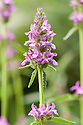 Betony (Stachys officinalis syn. S. densiflora, S. macrantha, S. betonica, Betonica officinalis) mid June. Common names include Bishop's wort and wood betony.