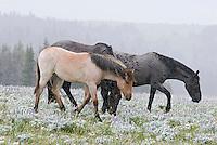 Wild Horses or feral horses (Equus ferus caballus) during summer snowstorm.  Western U.S., summer.
