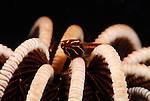 Clingfish-Crinoid , Discotrema crinophila, Underwater macro marine life images;  Photographed in Tulamben; Liberty Resort; Indonesia.Underwater Macro Photographer on FB 2nd Annual event