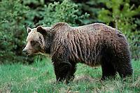 Grizzly bear (Ursos arctos), Northern Rockies
