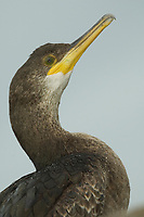 bird, Young european shag or common shag (Phalacrocorax aristotelis)