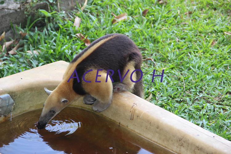 Tamanduá mirim bebe água em velha banheira ao lado da sede de uma fazenda.<br />  <br /> Campos de Cachoeira do Arari.<br /> Arquipélago do Marajó, Cachoeira do Arari, Pará, Brasil.<br /> F0to Armando Teixeira Soares
