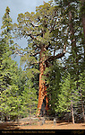 Grizzly Giant, Giant Sequoia, Sequoiadendron giganteum, Mariposa Grove of Giant Sequoias, Yosemite National Park