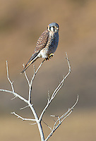 American kestrels are just as common in Patagonia as they are in Yellowstone.