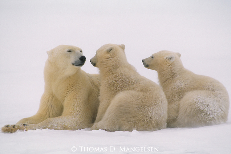 A polar bear mother rest with her cubs in the snow.
