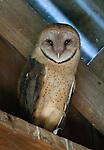 """""""Adult Barn Owl"""", Missouri"""