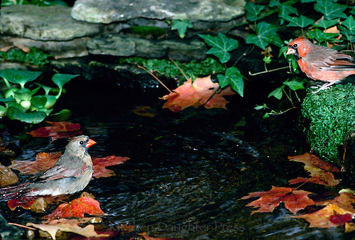 Male and female cardinals, Cardinal cardinalis, bathing in garden pool in fall with green moss and red maple leaves, Missouri USA