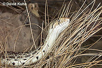 0519-1105  Gopher Snake (Pine Snake, Bull Snake), North American, Pituophis catenifer  © David Kuhn/Dwight Kuhn Photography